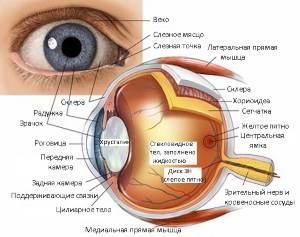 Помощь йоги для улучшения зрения Строение глаза
